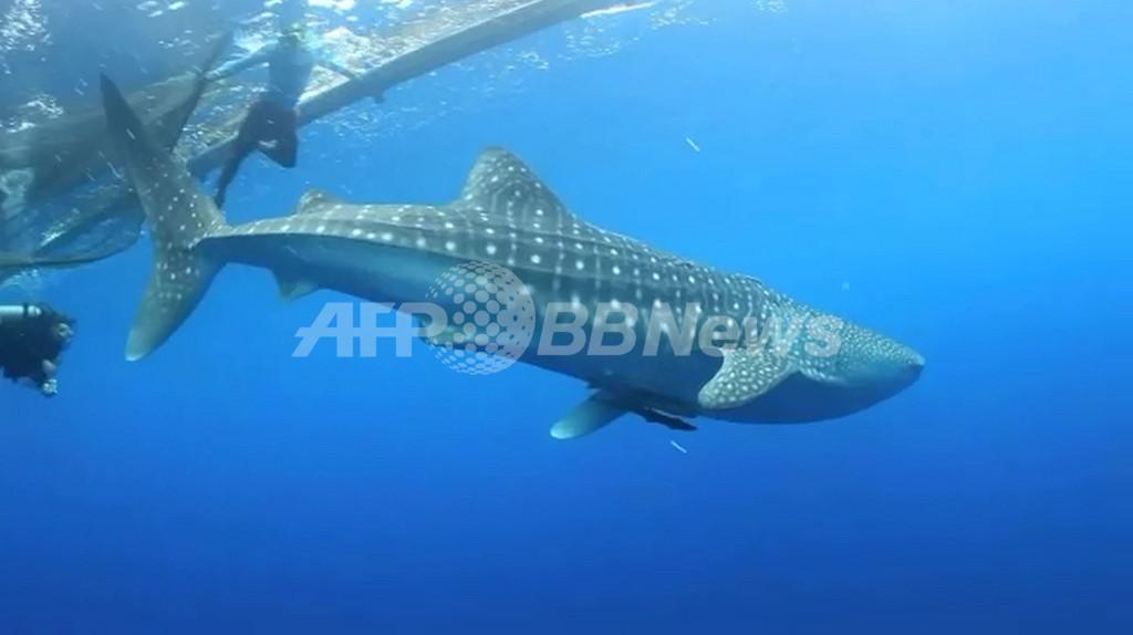 ジンベイザメに無線タグ取り付けに成功、漁網に群がる習性を利用 インドネシア