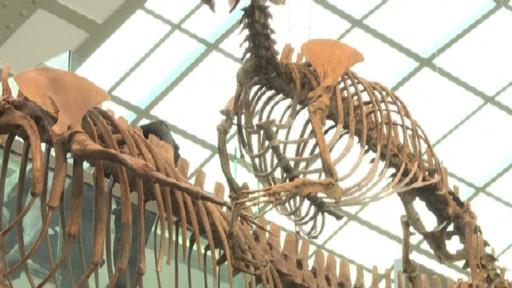 動画:4本足のクジラの祖先、ペルーで化石発見