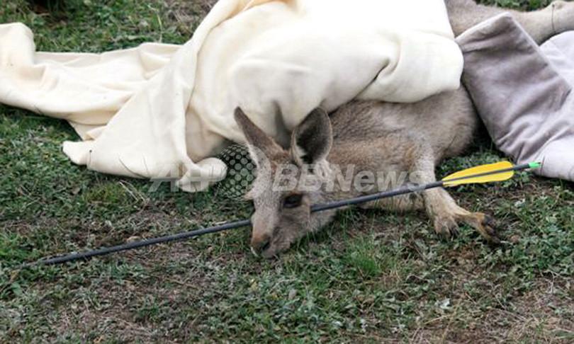 カンガルーの顔を矢で射抜いた男、豪警察が逮捕・起訴