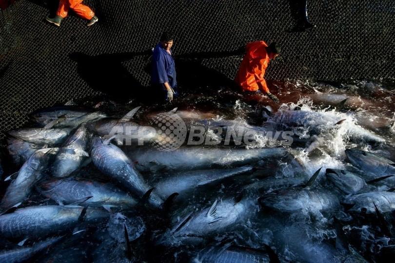 地中海と大西洋のクロマグロ取引禁止、米国も支持へ