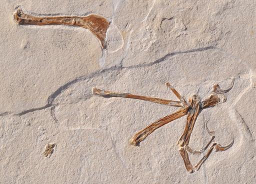 「最も鳥に似た」羽ばたきする新種恐竜、ドイツで化石発見