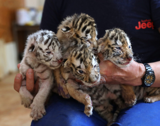 四つ子のベンガルトラの赤ちゃん誕生、1頭はホワイト 山東省