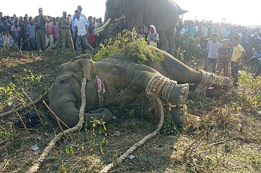 村人5人殺しのお尋ね者ゾウ、「ラディン」を捕獲 インド