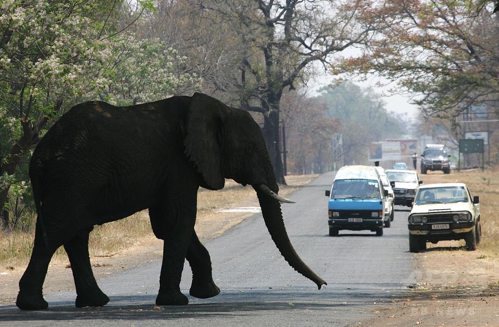 ゾウを撮りたい…接近し過ぎた観光客2人、踏まれて死亡 ザンビア