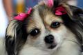 目指せ美犬ナンバーワン! イヌ版ミス・コスタリカ大会