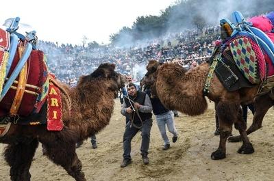 トルコでラクダ相撲、迫力満点のぶつかり合い