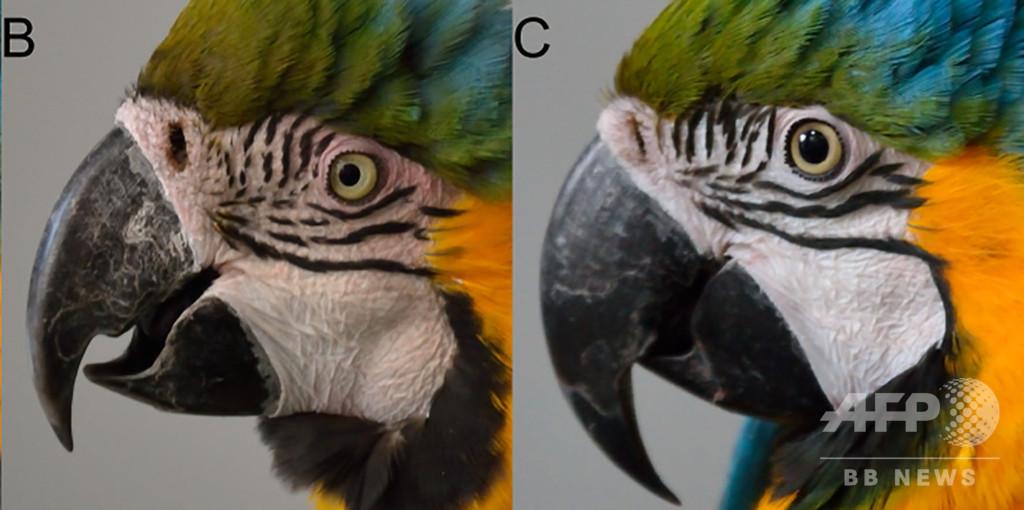 インコも顔を赤らめる? 鳥の感受性理解に道筋 仏研究