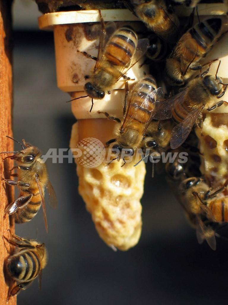 「意志決定はダンスで相談」、脳内神経系とハチ社会の共通性 米英研究