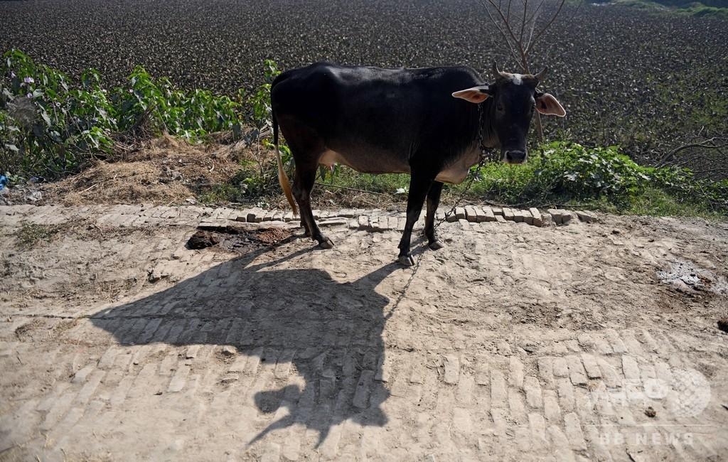 「聖なる」牛の皮を剥いだ男性を殺害、ヒンズー教徒の自警団 インド
