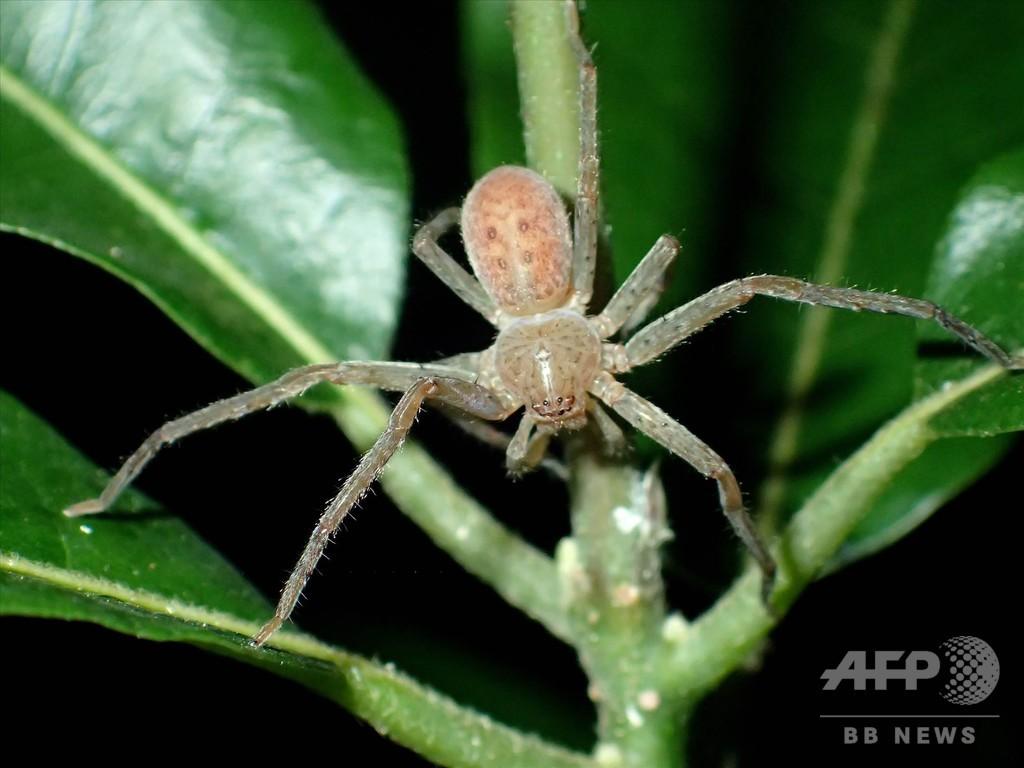 マダガスカルのクモ新属、グレタさんにちなみ命名 ドイツ人学者