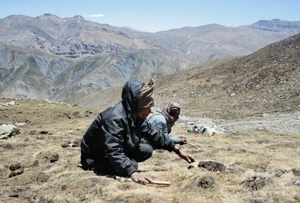 「ヒマラヤのバイアグラ」冬虫夏草の減少、過剰採集に加え気候変動の影響も