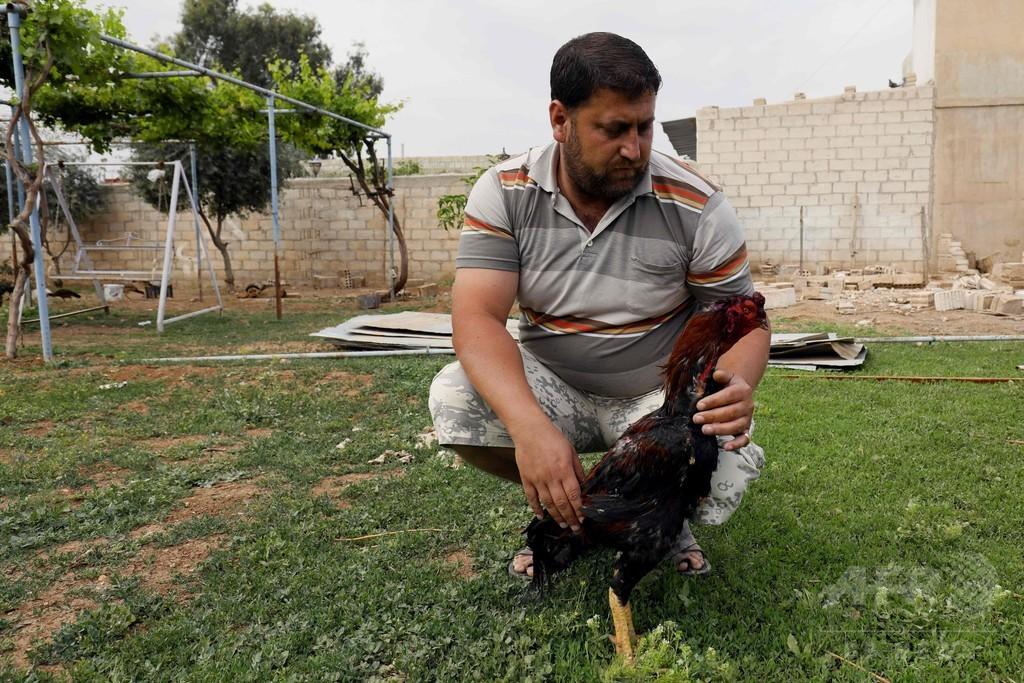 闘鶏、シリア北部クルド人自治区で人気を博す
