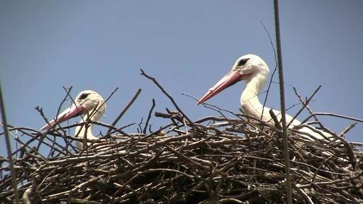 動画:「コウノトリの日」に保護訴え、電柱の上に巣を作って感電防止も セルビア
