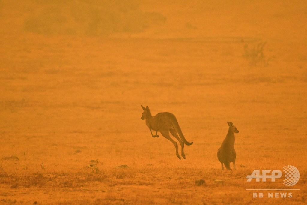 豪森林火災、コアラ保全のカギ握る個体群が半減 野生動物5億匹が焼死か