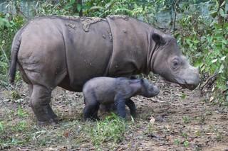 絶滅危惧種スマトラサイ、繁殖目指し米動物園からインドネシアへ