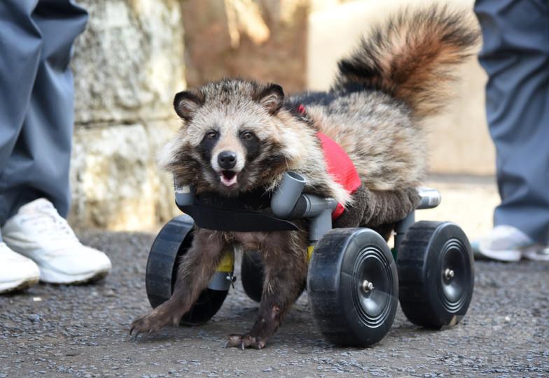 車いすに乗った保護タヌキ、動物園でガイドとして活躍!? 神奈川