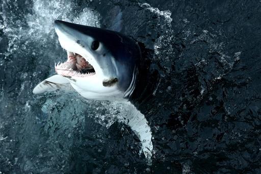 サメ17種が絶滅の危機、珍味として乱獲される種も レッドリスト最新版