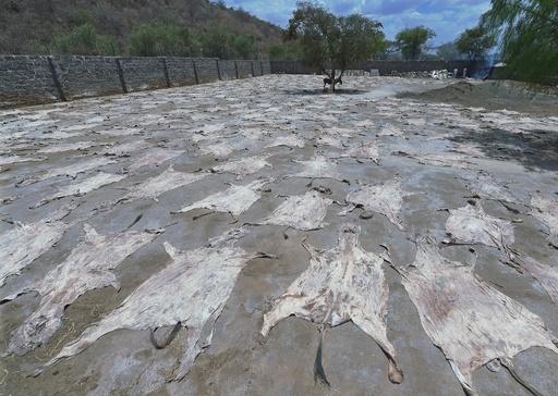 ロバの皮を中国へ輸出 動物愛護団体、ケニアに禁止要求