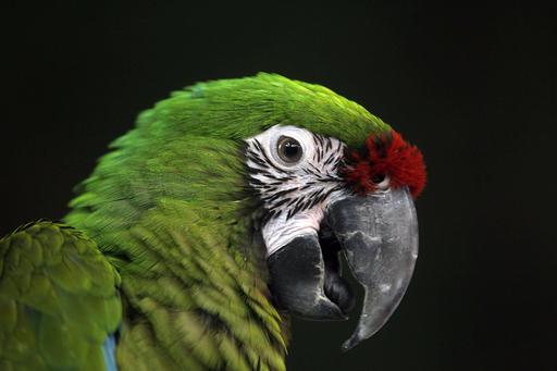 色トリドリ、バードマーケットの鳥たち クウェート