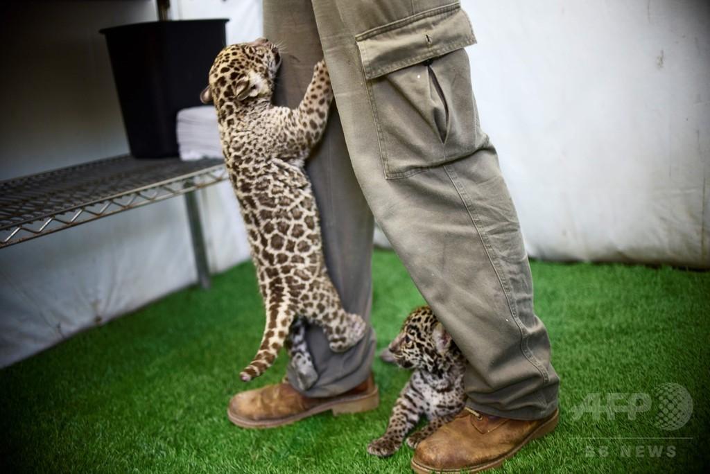 ジャガーの赤ちゃん、メキシコ野生動物園の人気者に