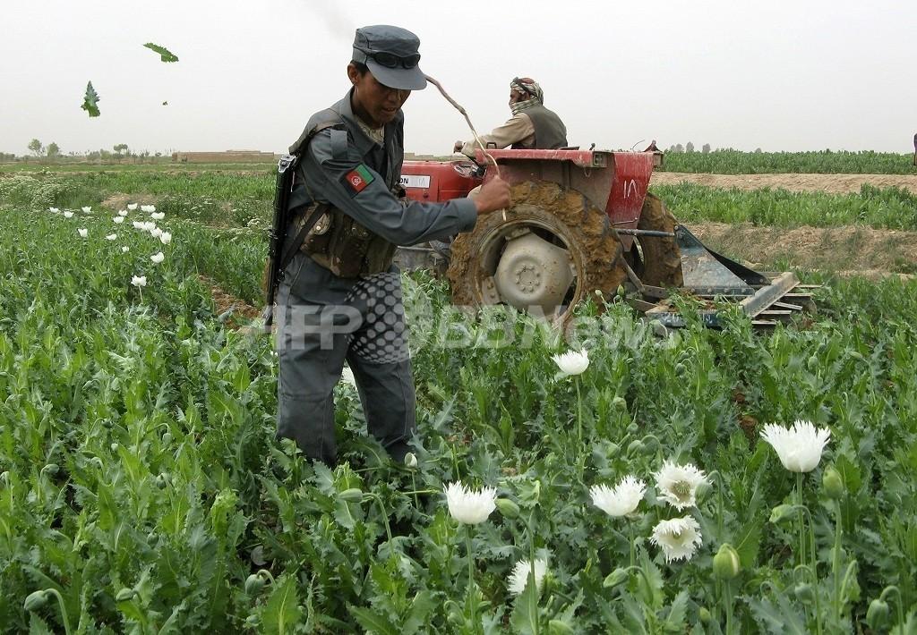 アフガニスタンのアヘン生産者、社会混乱存続のためタリバンに多額の資金