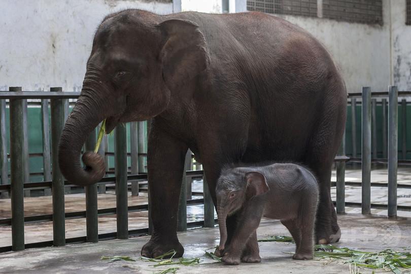 体重5.5トンのゾウに踏まれ獣医師死亡、インドネシア