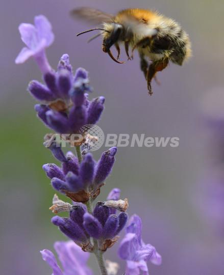 ハチの免疫系を高めて病気を予防する新薬を開発、スウェーデン研究