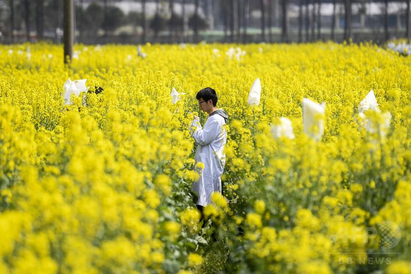湖南で人気の「菜の花畑」、一般公開を中止 観光客増に対応できず