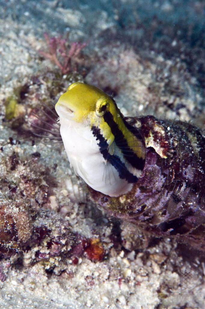モルヒネに似た毒持つ熱帯魚、鎮痛剤開発に応用も 論文