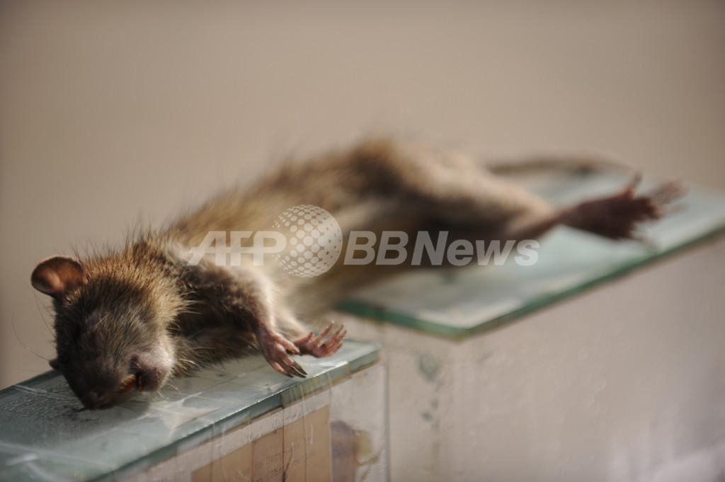 リアリティー番組でネズミ食べた出演者、動物虐待容疑で拘束 オーストラリア