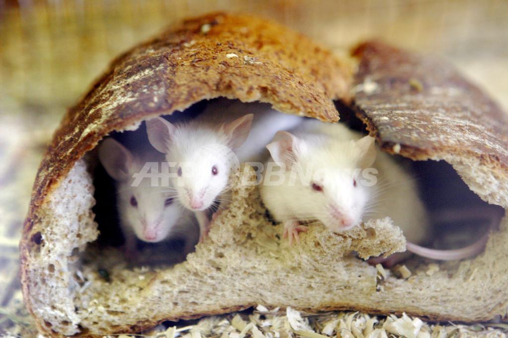 雄の子孫に危険を「警告」する遺伝メカニズム、マウスで発見