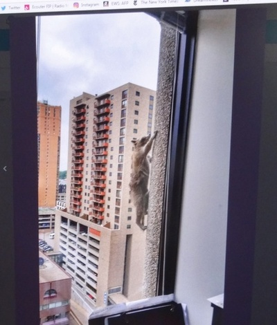アライグマが高層ビル登頂、無事捕獲で安堵の声 米