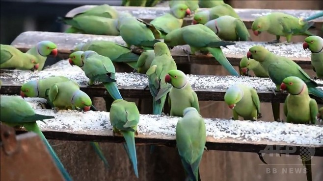 動画:給料の半分使い8000羽飼育、インドのインコ愛好家