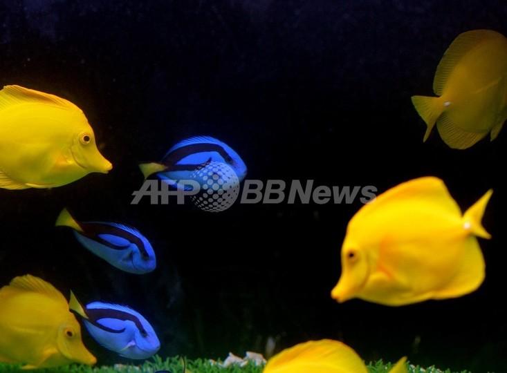 カーゴパンツに熱帯魚7匹忍ばせ密輸、NZ空港で男逮捕