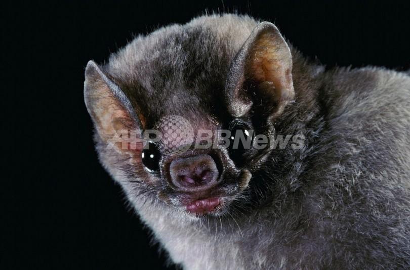狂犬病のコウモリとキスした子どもたちを捜索中、米フロリダ州