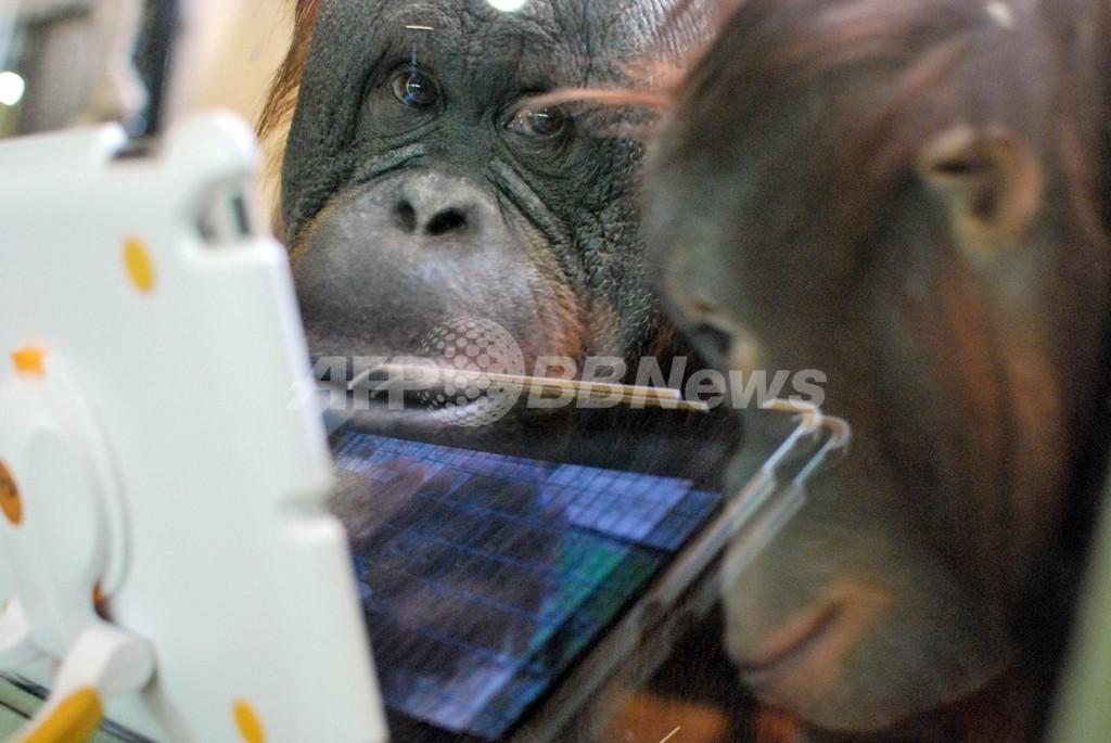 iPadに夢中、米動物園のオランウータン
