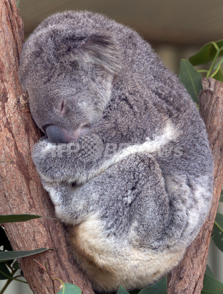 お昼寝コアラやトカゲがお出迎え、「ワイルド・ライフ・シドニー」