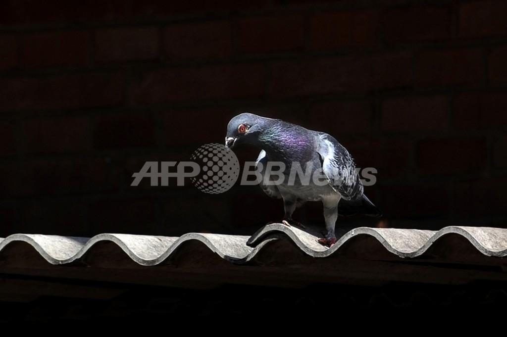 日本のレース鳩が太平洋横断、7000キロ離れたカナダで保護
