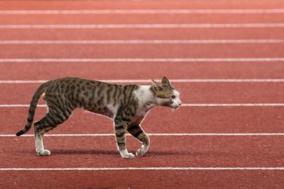一緒に走る? アジア大会陸上競技会場に猫