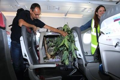 木よりも高い! ドイツのコアラが飛行機でスコットランドへ