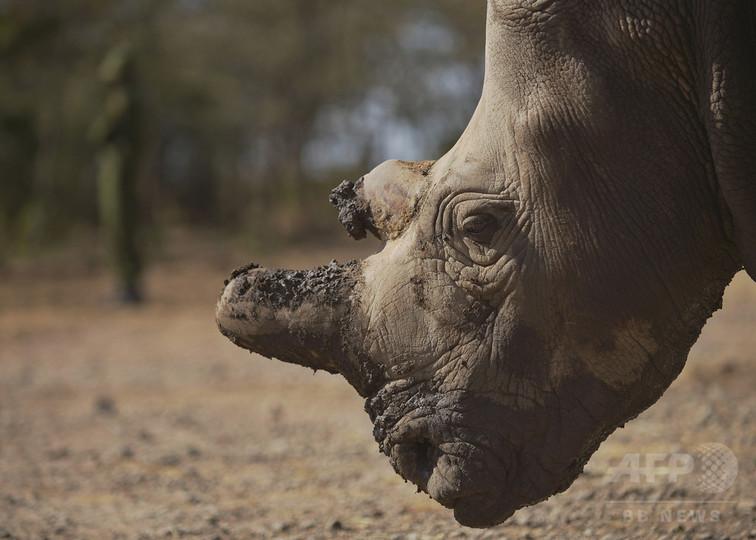 キタシロサイ、世界で残り3頭に 米動物園の雌死ぬ