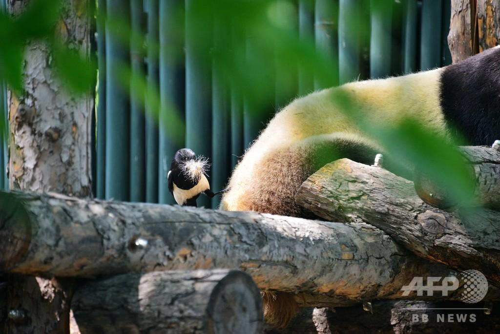 2羽のカササギがパンダのお尻の毛繕い 北京