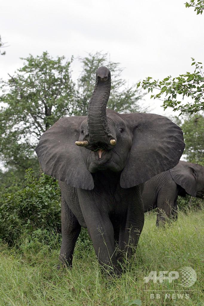 サイ密猟者、ゾウに踏みつぶされ死体はライオンの餌に 南ア