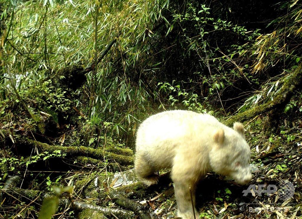 真っ白な野生パンダ、カメラが捉える 中国・四川
