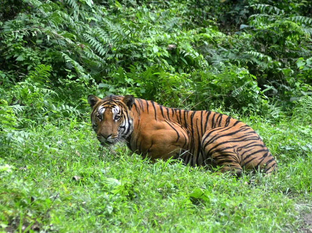 4人犠牲の殺人トラ、電気柵で感電死 インド