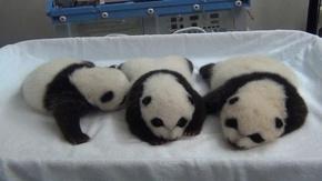 動画:パンダの三つ子、すくすく成長中