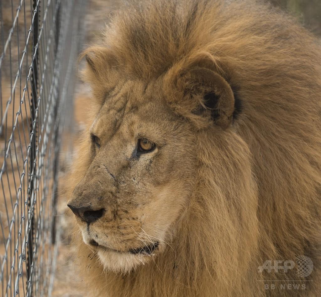 自殺図った男がライオン飼育場に侵入、2頭殺処分 チリの動物園