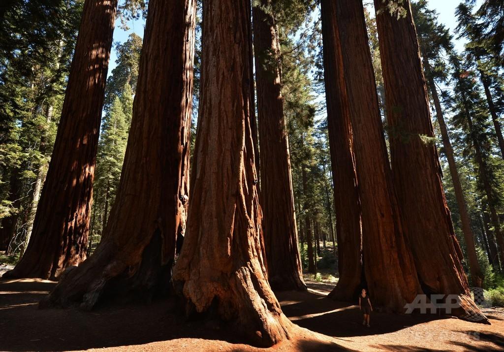 米カリフォルニア州の山火事、貴重なセコイア巨木群に迫る
