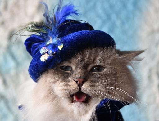 似合うかニャ? 帽子かぶる猫も、キルギスでキャットショー