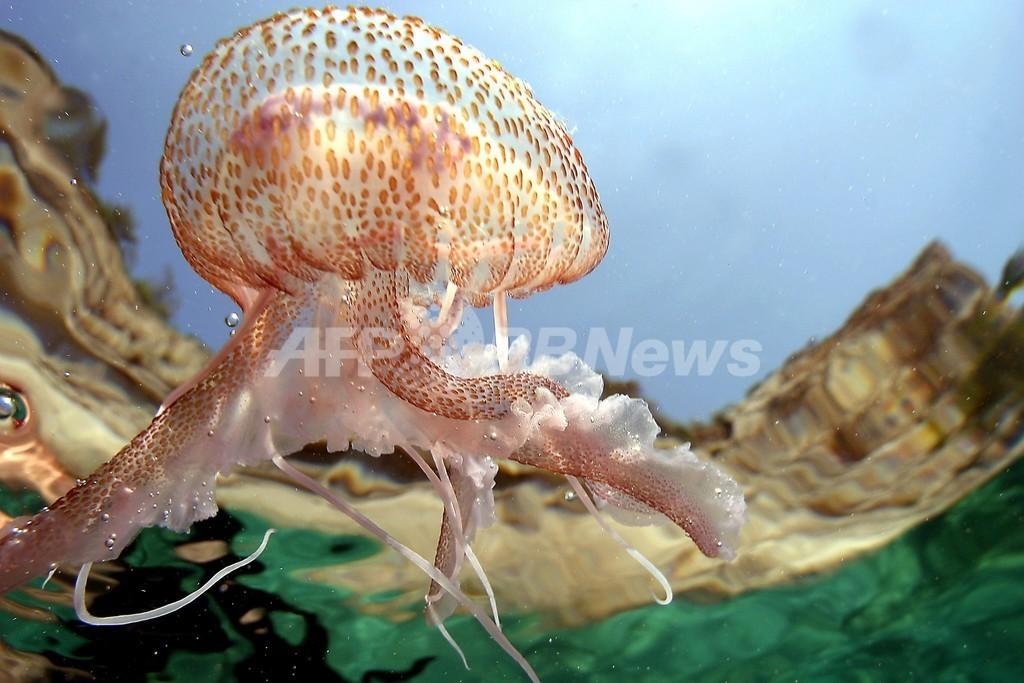 地中海でクラゲ増殖、乱獲で悪循環 FAO警告